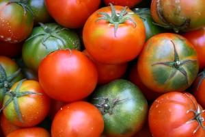 tomates bio précoces en Bretagne